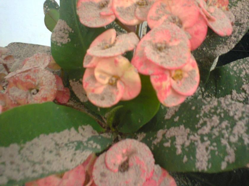 bunga Ibu