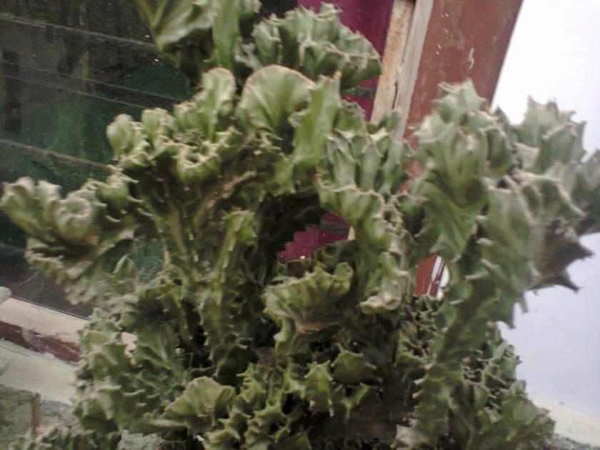 bunga kakti Ibu :)